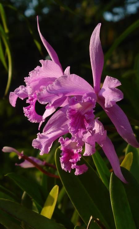 Orquídea Cattleya lobata, encontrada no Pão de Açúcar, quase entrou em extinção pela coleta ilegal. Hoje, é um dos símbolos da cidade e é nativa do Morro do Pão de Açúcar Foto: Claudio Fraga / Divulgação