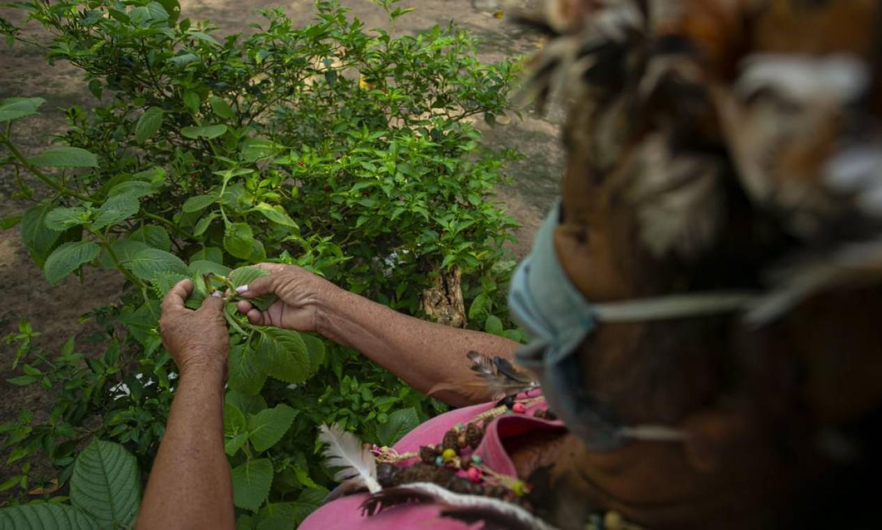 Paje Suzete Kumaruara, da tribo Kunaruara, colhe ervas para serem usadas em um remédio natural Foto: TARSO SARRAF / AFP