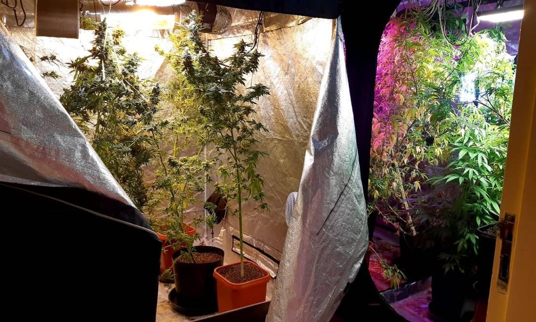 O espaço abriga estufas com ventilação e iluminação artificial e conta também com sistema de filtragem, através de carbono, para eliminação do odor característico da erva Foto: Divulgação