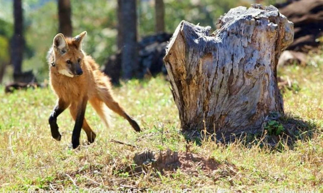 Lobos-guarás ganharam destaque nesta semana após a divulgação de que a espécie estará estampada na nota de R$ 200 Foto: RICARDO BOULHOSA