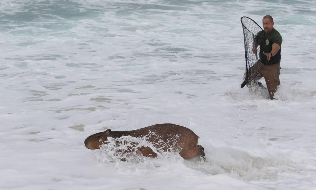 Banhistas relataram que o roedor passou a manhã se banhando na praia, na altura do posto 12 Foto: Pedro Teixeira / Agência O Globo