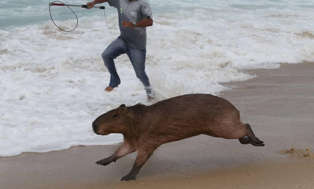 Durante quase três horas, ninguém conseguiu deter o roedor que curtia a Praia do Leblon vazia em dia nublado Foto: Pedro Teixeira / Agência O Globo