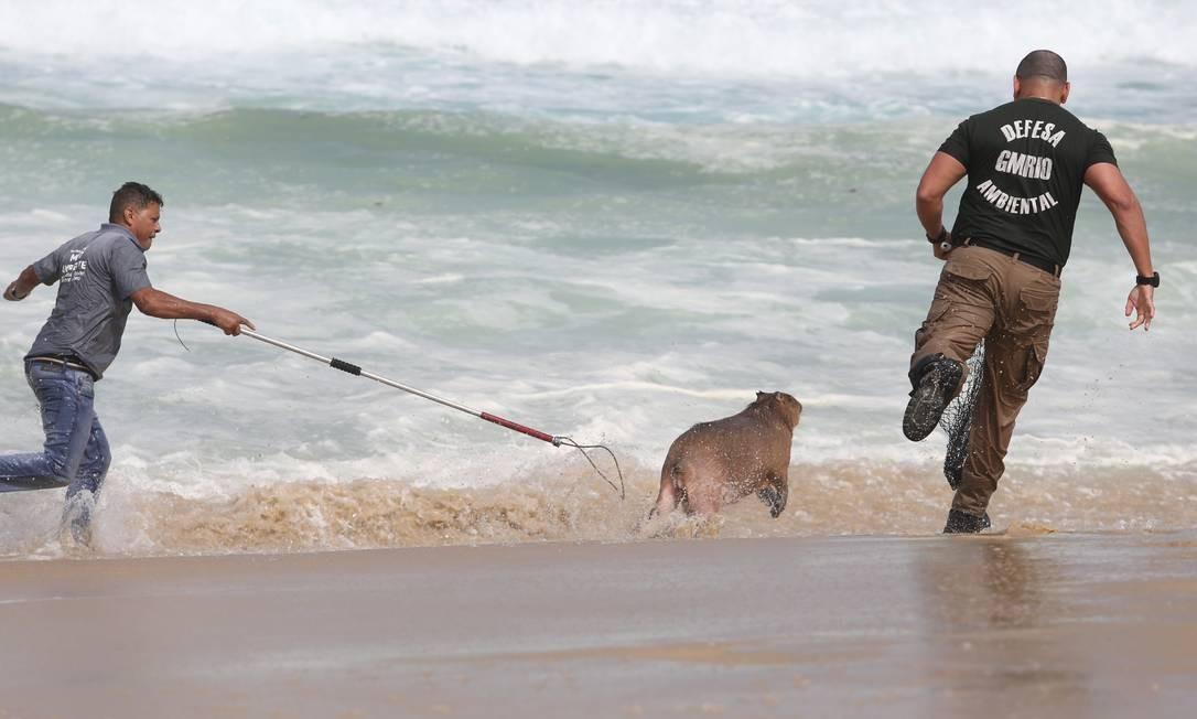 Capivara escapou diversas vezes das investidas dos guardas ambientais Foto: Pedro Teixeira / Agência O Globo