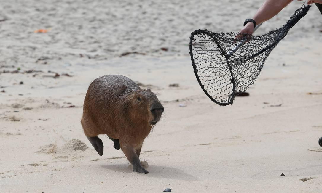 Capivara correu pelas areias para não ser capturada por guarda Foto: Pedro Teixeira / Agência O Globo