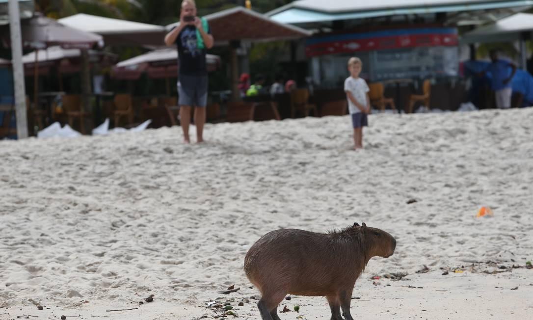 Banhistas fotografam capivara na praia do Leblon, na manhã desta sexta-feira Foto: Pedro Teixeira / Agência O Globo