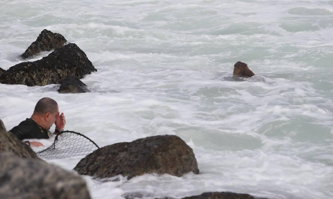 Agente da guarda tenta, sem sucesso, alcançar capivara no mar do Leblon Foto: Pedro Teixeira / Agência O Globo