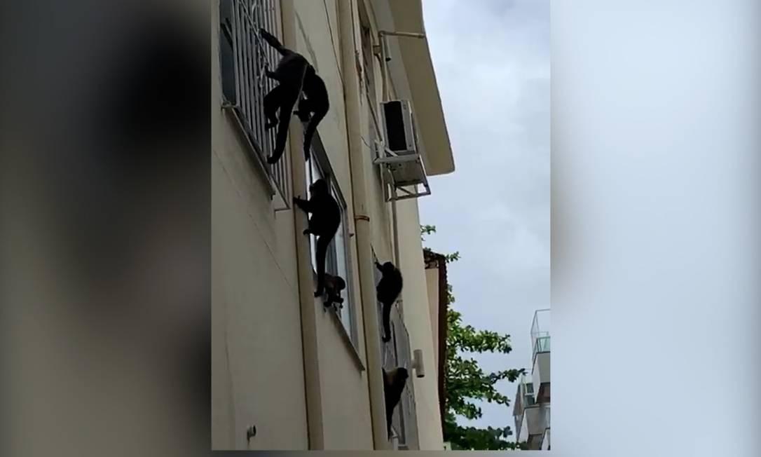 Macacos escalam prédio no Jardim Botânico, Zona Sul do Rio Foto: JB em Folhas/jornal do Jardim Botânico