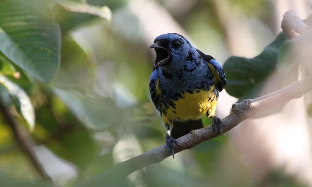 Saíra-de-bando, que só vive na floresta original da Amazônia: de 39 espécies de pássaros, apenas 13 permanecem na mata secundária jovem Foto: Alexander Lees/RAS