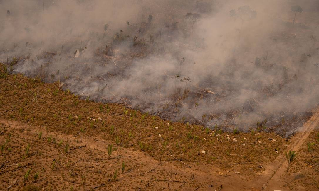 Gado pasta próximo a frente fogo em Lábrea, no sudeste do Amazonas. O município foi um dos mais desmatados e queimados da região em 2020 Foto: Christian Braga / Agência O Globo