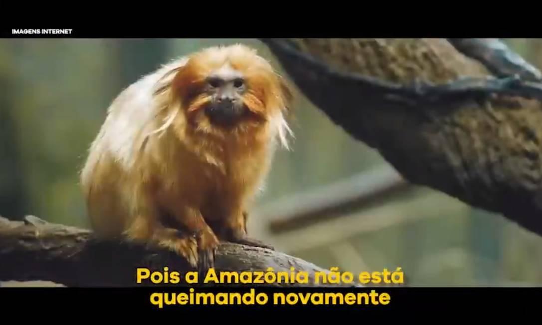 Mico-leão-dourado, endêmico da Mata Atlântica, em campanha para defender que a floresta Amazônica não está queimando Foto: Reprodução