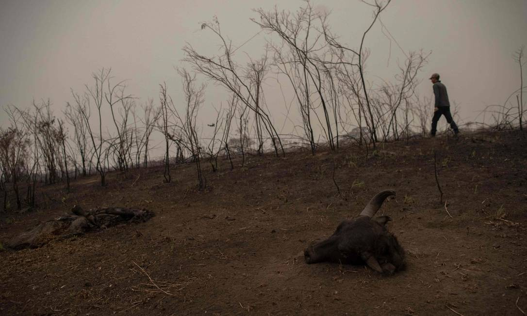 Um guia turístico caminha ao lado de uma carcaça de búfalo encontrada dentro de uma área queimada, enquanto busca sinais de uma onça-pintada ferida, na estrada do parque da Transpantaneira) Foto: MAURO PIMENTEL / AFP - 13/09/2020