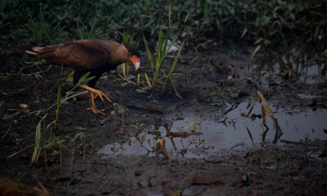 Um carcará é visto pegando água de uma poça de lama no Pantanal, na estrada do parque da Transpantaneira. Queimadas na região cresceram 210% neste ano, segundo dados do Instituto Nacional de Pesquisas Especiais (Inpe) Foto: MAURO PIMENTEL / AFP - 13/09/2020