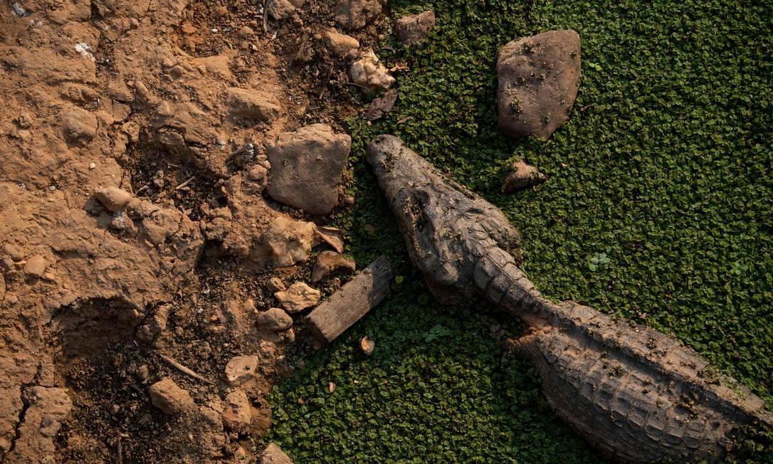 Um jacaré morto é visto na estrada do parque Transpantaneira. Pantanal é a área ambiental que tem registrado o maior crescimento de incêndios desde o primeiro do governo Bolsonaro Foto: MAURO PIMENTEL / AFP