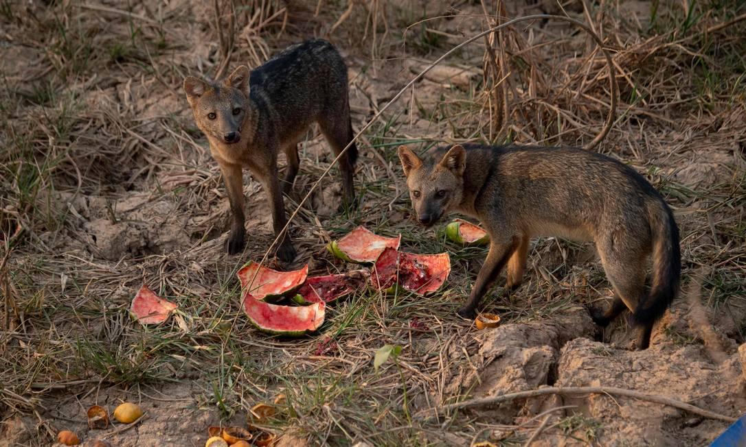Raposas são vistas comendo uma melancia deixada por protetores de animais no Parque Transpantaneira Foto: MAURO PIMENTEL / AFP