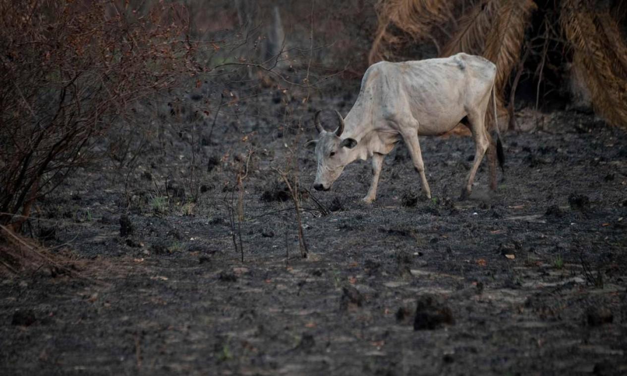 Gado caminha em uma área recentemente queimada do Pantanal na estrada do parque Transpantaneira Foto: MAURO PIMENTEL / AFP