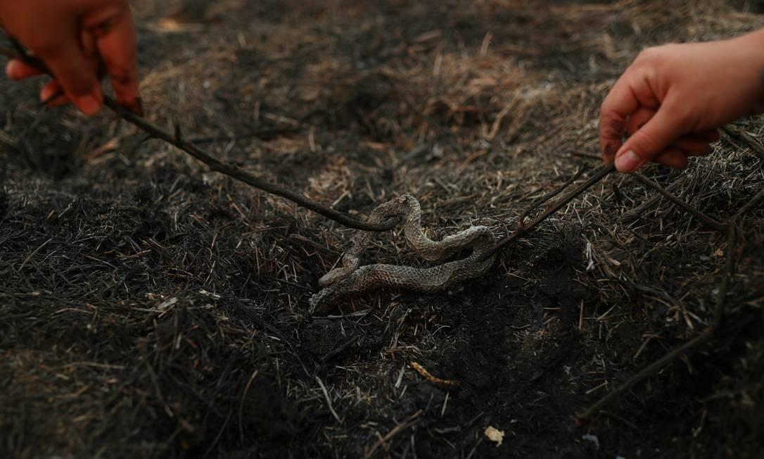 Uma cobra morta é encontrada morta em uma área queimada por um incêndio no Pantanal, maior planície alagada do mundo Foto: AMANDA PEROBELLI / REUTERS