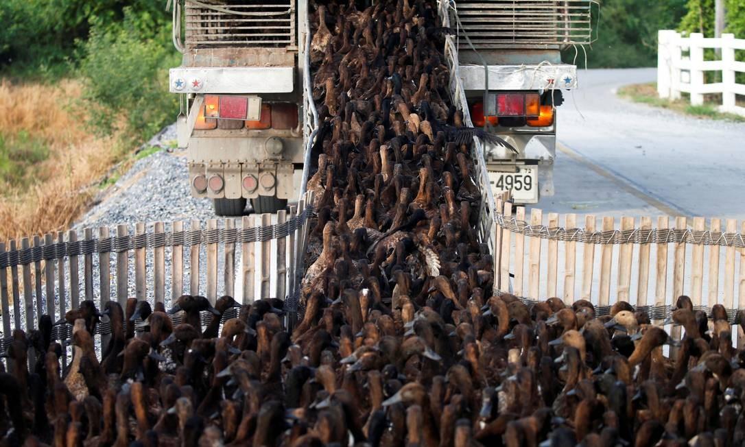 Caminhao é carregado com patos para eliminar ervas daninhas e pragas, como caramujos e insetos, em campos de arroz, após a temporada de colheita em Nakhon Pathom, Tailândia Foto: SOE ZEYA TUN / REUTERS
