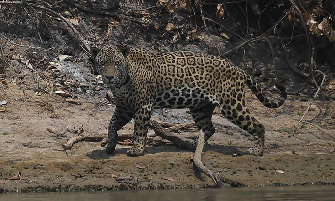 Onça-pintada macho ferido pelo incêndio caminha à beira de um rio, no Parque Encontros das Águas, na região de Porto Jofre, no Pantanal mato-grossense Foto: MAURO PIMENTEL / AFP