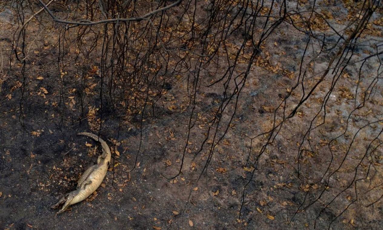 Jacaré morto ao lado da estrada do parque Transpantaneira, no Pantanal, no Mato Grosso, que enfrenta um dos piores incêndios em mais de 47 anos, destruindo vastas áreas de vegetação e causando a morte de animais pegos pelo fogo ou fumaça Foto: MAURO PIMENTEL / AFP