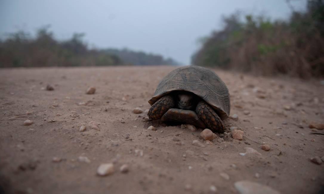 Tartaruga caminha pela Estrada do Parque da Transpantaneira no Pantanal Foto: MAURO PIMENTEL / AFP