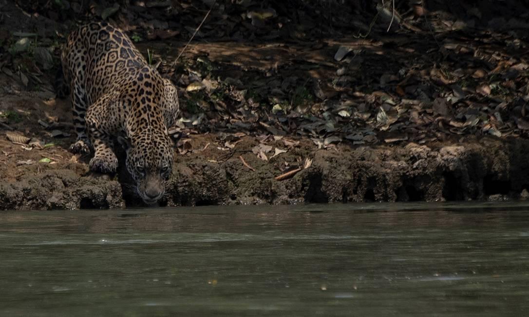 Onça ferida bebe água às margens de um rio no Parque Encontros das Águas, na região de Porto Jofre, no Pantanals. As queimadas do Pantanal destruíram 12% do bioma, que era até agora um dos mais conservados do país Foto: MAURO PIMENTEL / AFP
