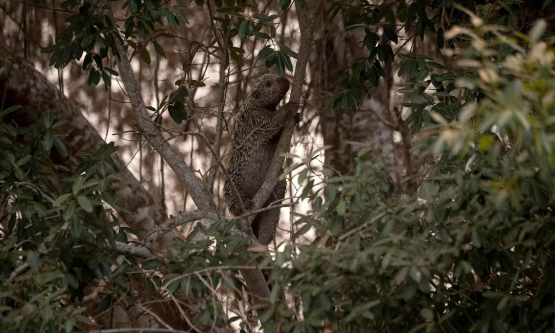 Um porco-espinho sobe em uma árvore próximo à estrada do parque da Transpantaneira que cruza a maior área úmida tropical do mundo, no estado de Mato Grosso Foto: MAURO PIMENTEL / AFP