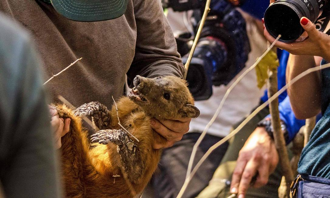 Um guaxinim é resgatado de uma área de queimadas no Pantanal. Incêndios florestais continuam a avançar, propagando morte em massa de animais queimados vivos Foto: JOAO PAULO GUIMARAES / AFP