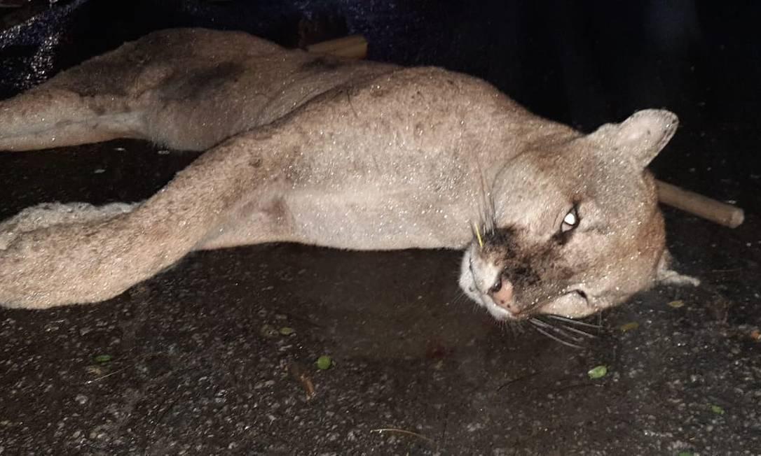 Usuários da rodovia viram o animal, por volta de 23h deste domingo (20) e entraram em contato com o Instituto Estadual de Ambiente (Inea) Foto: Divulgação/Concer