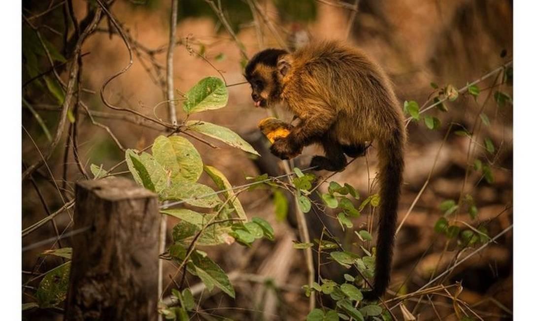 Macaco-prego se alimenta com mamão distribuido por voluntários no Pantanal Foto: FRICO GUIMARÃES/DOCUMENTA PANTANAL