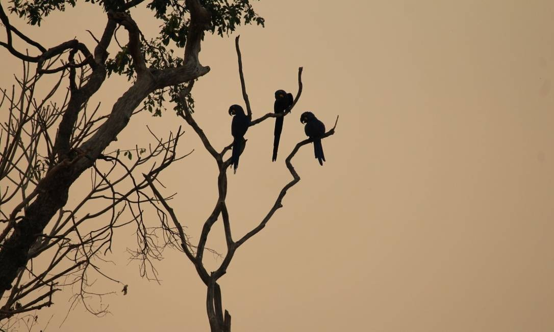 Arara-azul sofre com o fogo no Pantanal Foto: Ana Maria Barreto / Divulgação