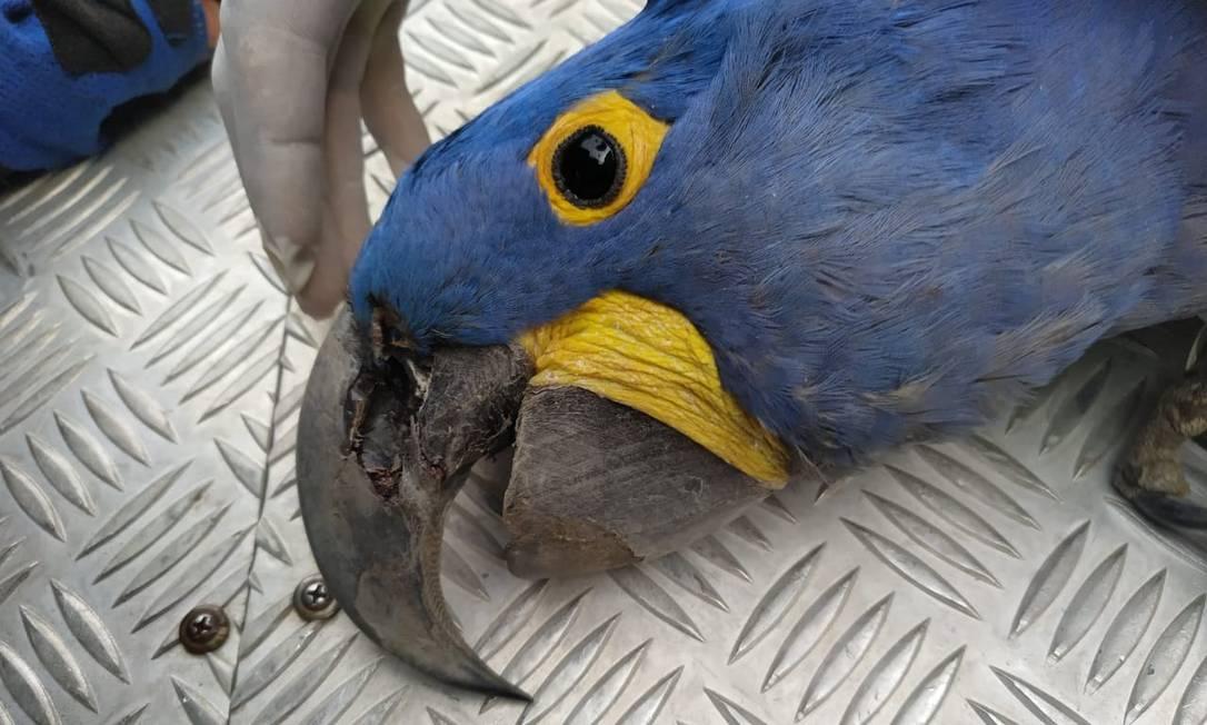 Arara-azul é encontrada morta no Pantanal Foto: Instituto Arara Azul / Divulgação