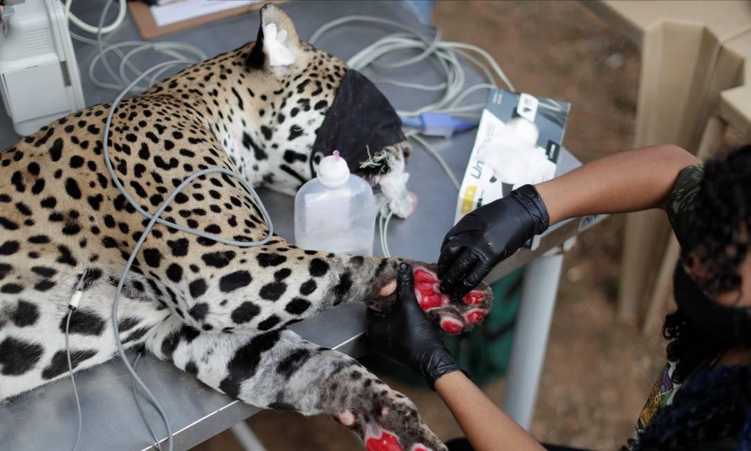 Onça-pintada adulta é sedada para receber curativo em ferimento nas patas, após queimaduras durante um incêndio no Pantanal, na ONG Instituto Nex em Corumbá de Goiás, em Goiás Foto: UESLEI MARCELINO / REUTERS
