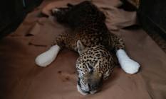 Depois de receber o tratamento e curativo nas patas, onça chamada Ousado descansa, na ONG Instituto Nex Foto: UESLEI MARCELINO / REUTERS