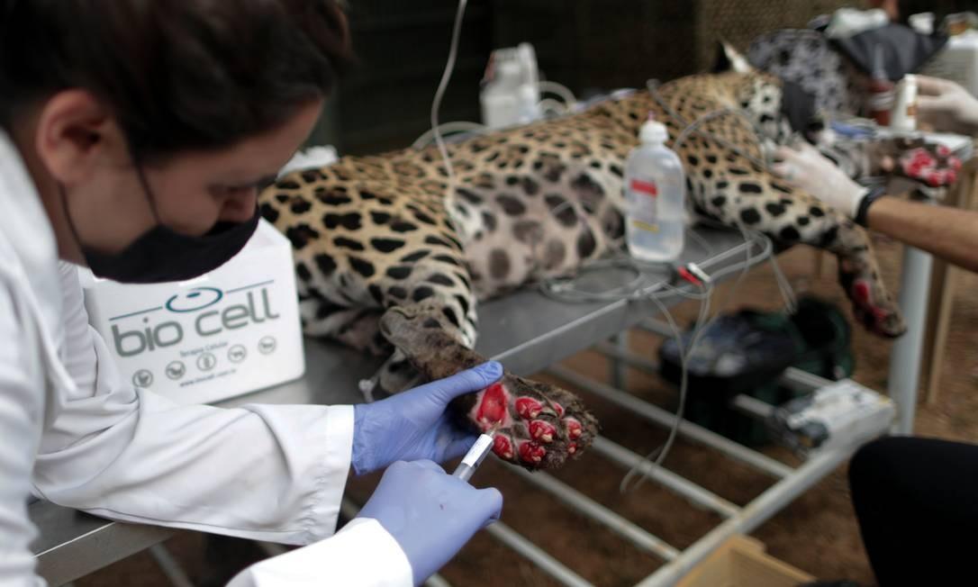 Veterinária Patricia Malard aplica tratamento com células-tronco nas patas de uma onça-pintada adulta chamada Amanaci que sofreu queimaduras em um incêndio no Pantanal, na ONG Instituto Nex Foto: UESLEI MARCELINO / REUTERS
