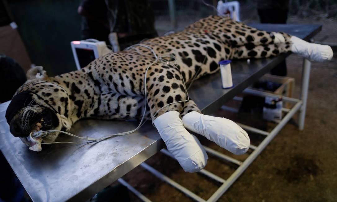 Ousado aparece em maca veterinária sedado, após receber curativos nas patas Foto: UESLEI MARCELINO / REUTERS