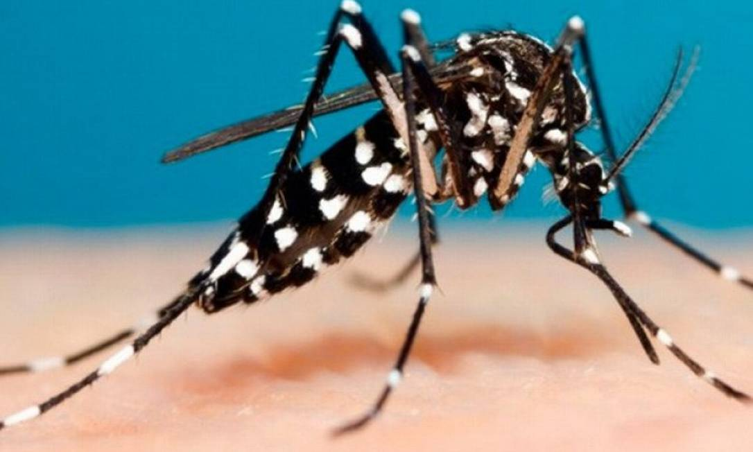O mosquito Aedes aegypti, que transmite a dengue Foto: Divulgação