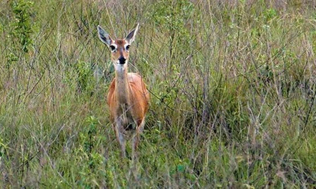 Veado campeiro no interior de Minas Gerais: Pantanal perdeu área equivalente ao estado de Pernambuco em 18 anos para o plantio de produtos agrícolas, como a soja Foto: Cléber Júnior/20-11-2018