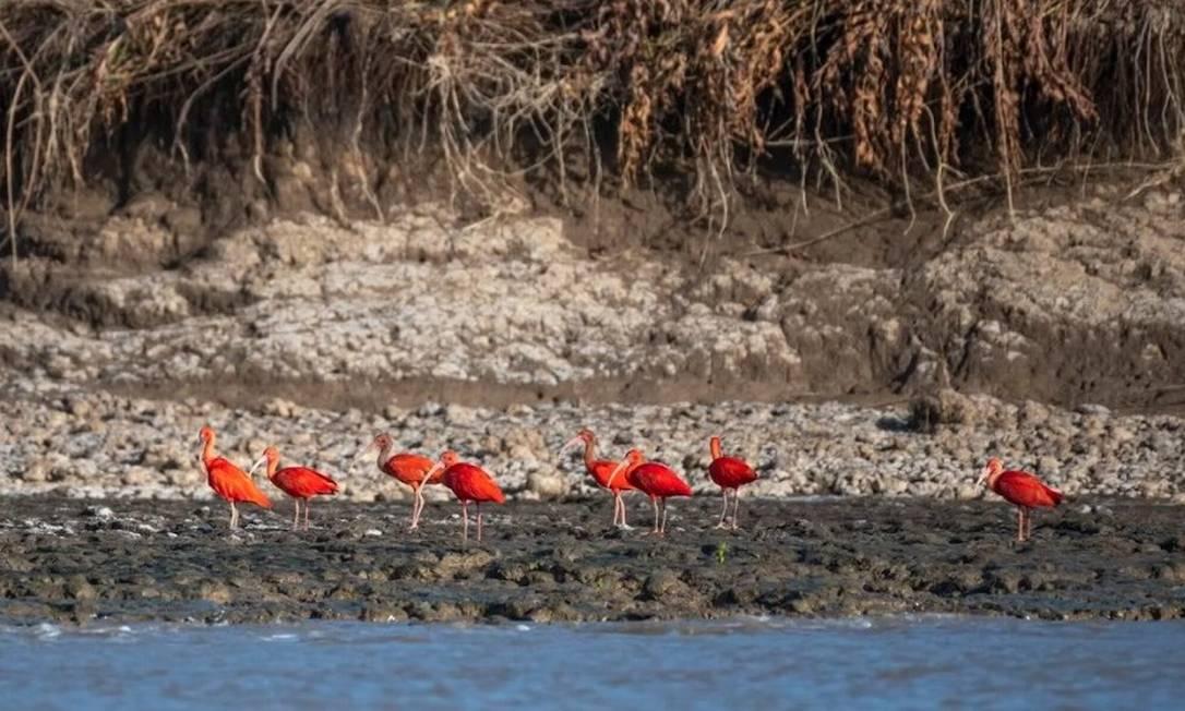 Guarás em área de manguezal na Ilha de Maracá, no Amapá Foto: André Dib/WWF-Brasil
