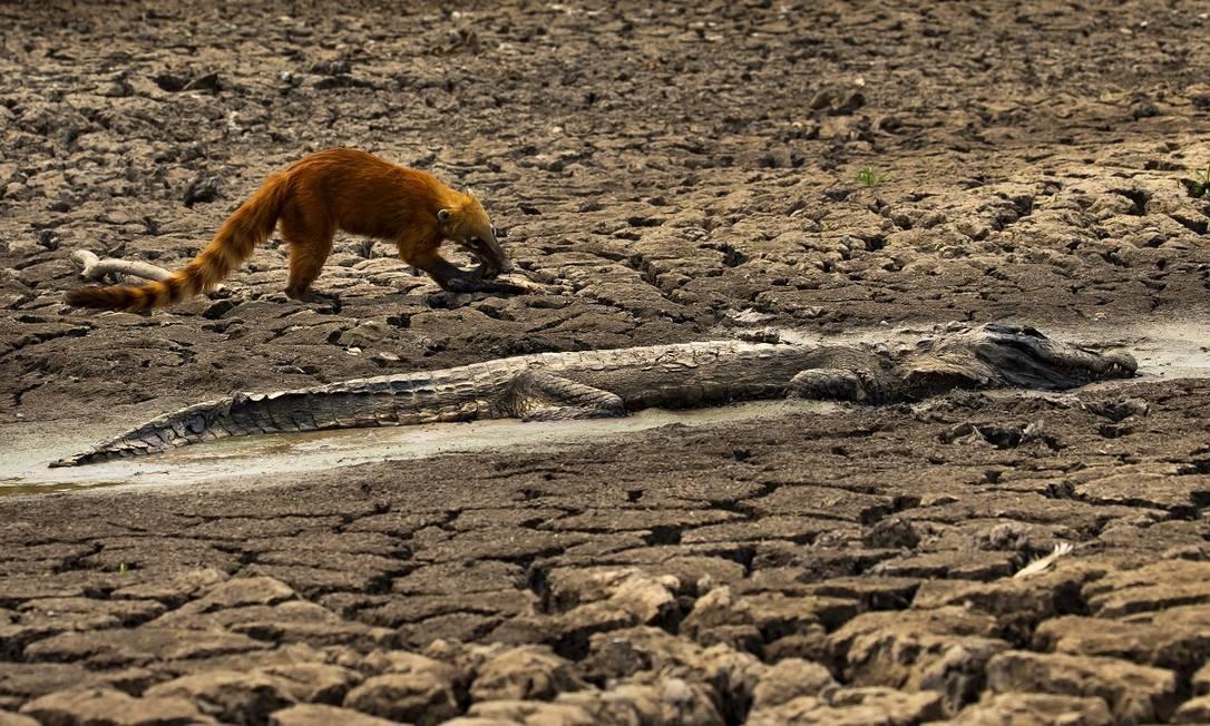 Quati procura comida perto do corpo de um jacaré, que morreu queimado nos incêndios que devastam o Pantanal, no Mato Grosso Foto: Araquém Alcântara / Divulgação