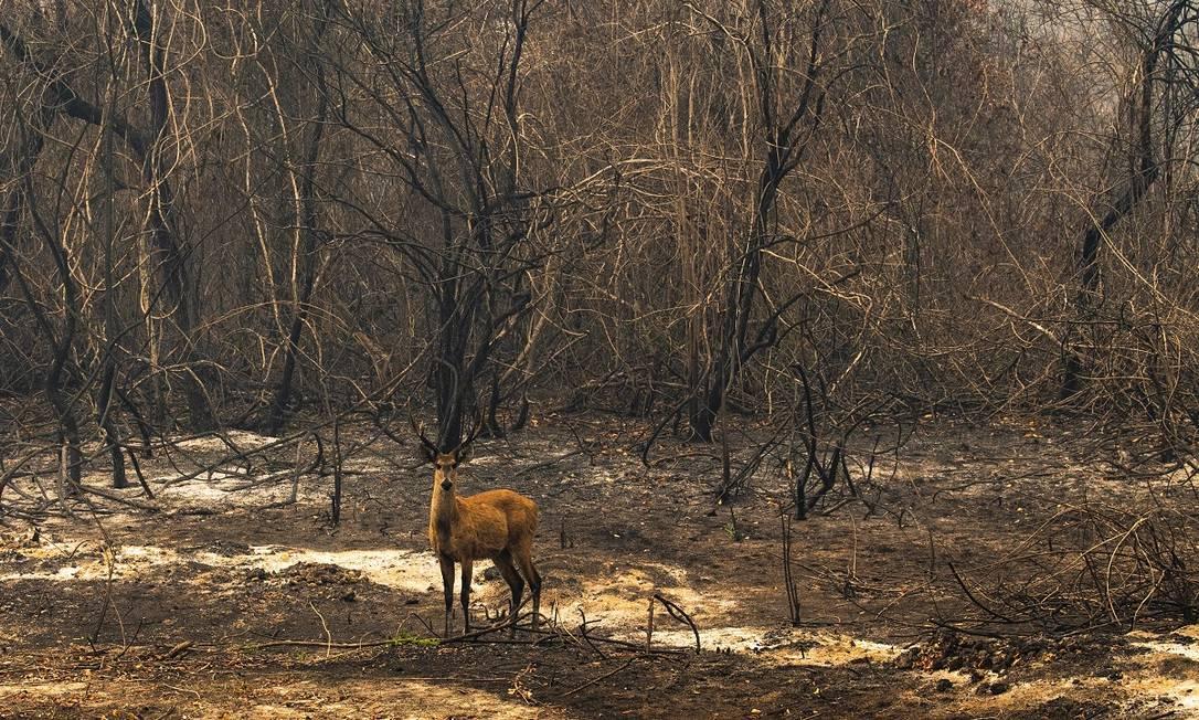 Um cervo-do-Pantanal surge entre árvores completamente queimadas na região da Rodovia Transpantaneira, em Mato Grosso Foto: Araquém Alcântara / Divulgação