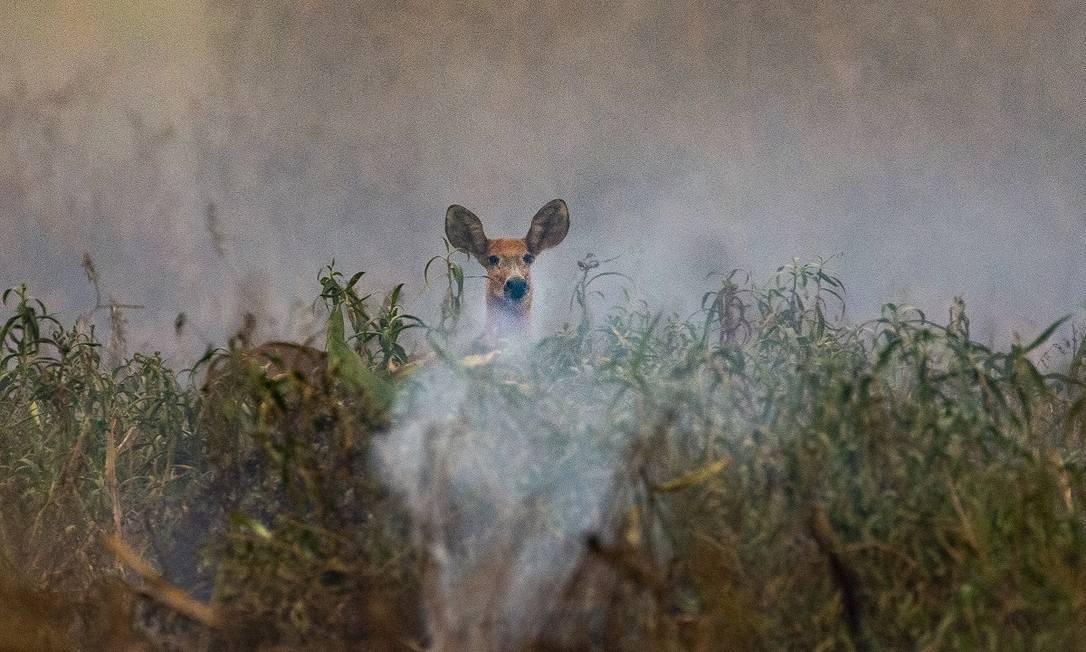 Muitos animais precisaram fugir da região para não morrerem queimados Foto: Araquém Alcântara / Divulgação