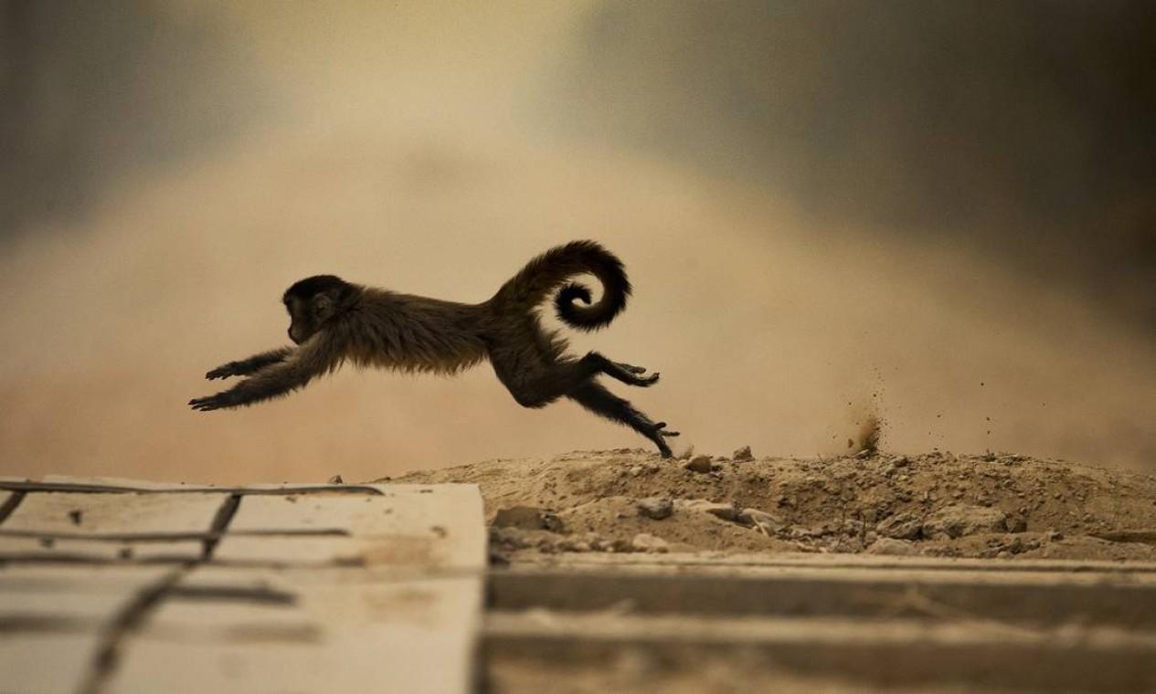 Macaco-prego tenta fugir das chamas na região do Pantanal Norte, uma das áreas mais atingidas pelas queimadas no Mato Grosso Foto: Araquém Alcântara / Divulgação