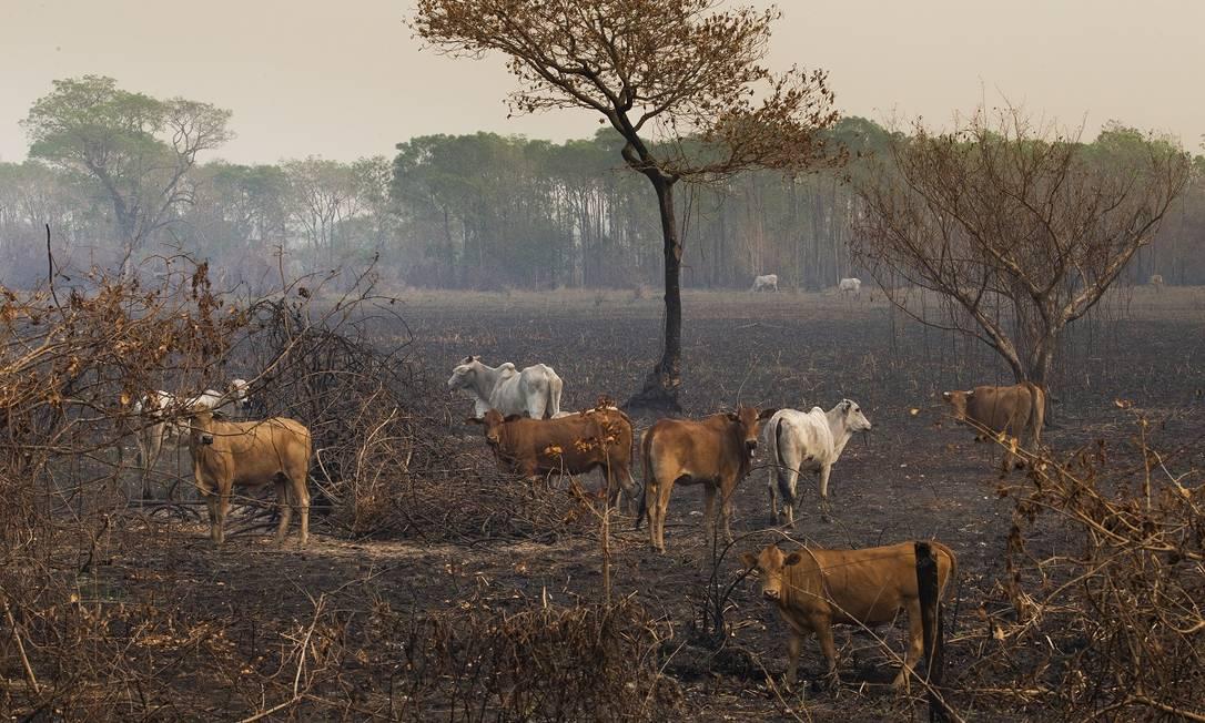 O gado também sofre com os incêndios que já destruíram cerca de 20% do Pantanal só em 2020 Foto: Araquém Alcântara / Divulgação