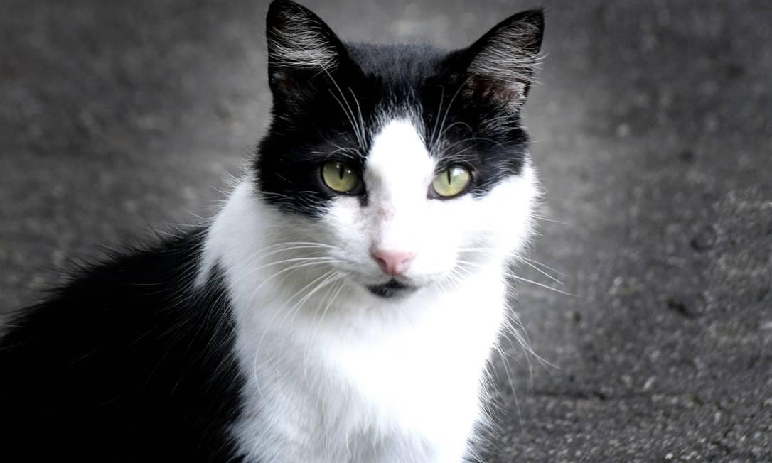 Estudo mostra que felinos desenvolvem boa resposta imune após infecção pelo coronavírus Foto: Agência O Globo
