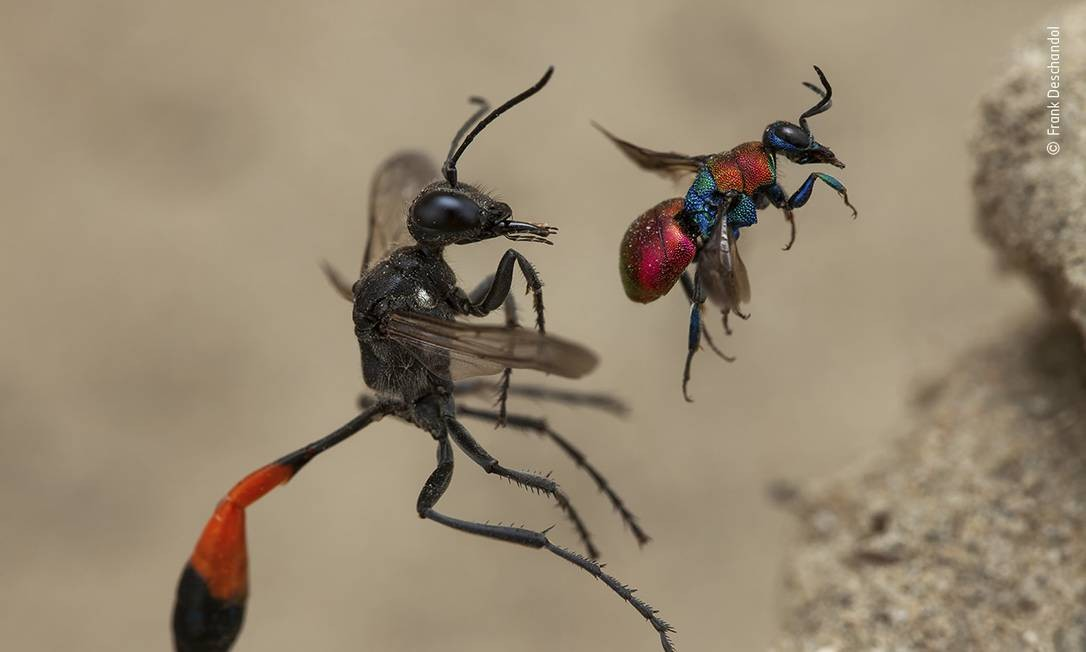 """Um conto de duas vespas"", de Frank Deschandol, França: Invertebrados Foto: Frank Deschandol / Wildlife Photographer of the Year"