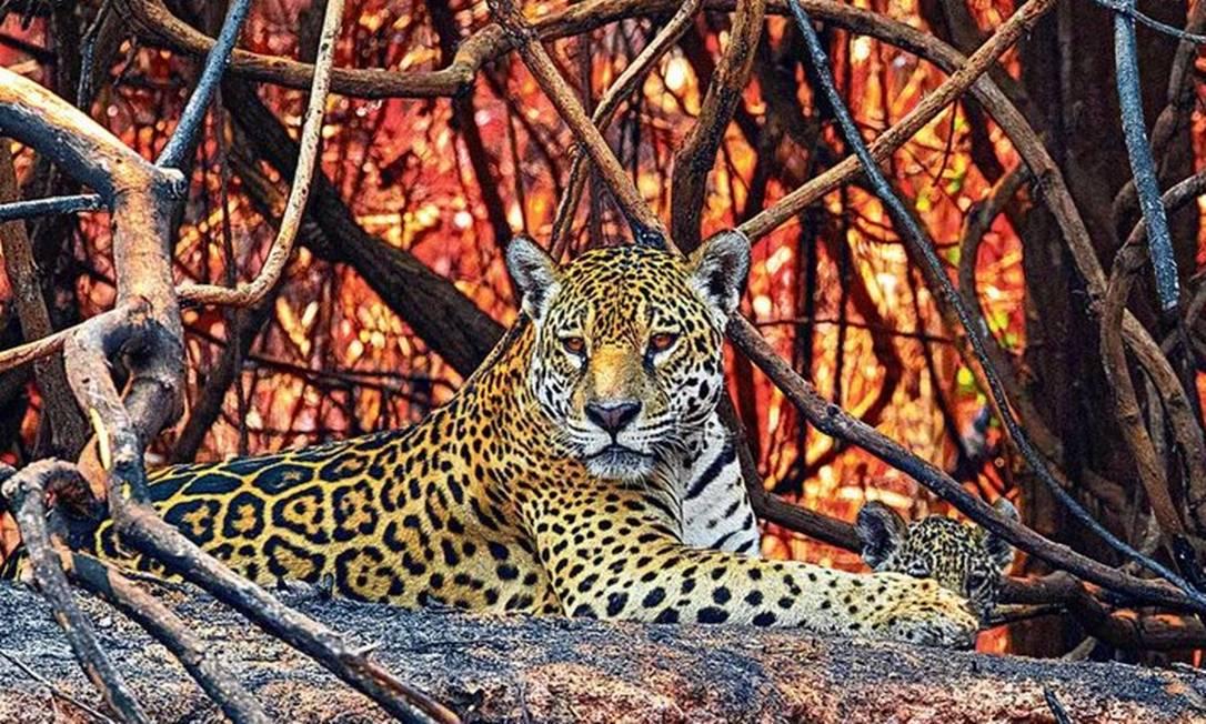 Onça-pintada com seu filhote em meio a vegetação queimada e chamas às margens do Rio Três Irmãos, no Pantanal Mato-grossense Foto: Daniel De Granville/Fotoarena/3-10-2020