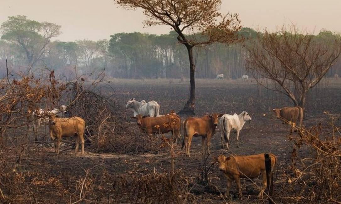 Segundo ministros, os animais no pasto ajudariam a conter incêndios comendo o capim seco Foto: Araquém Alcântara