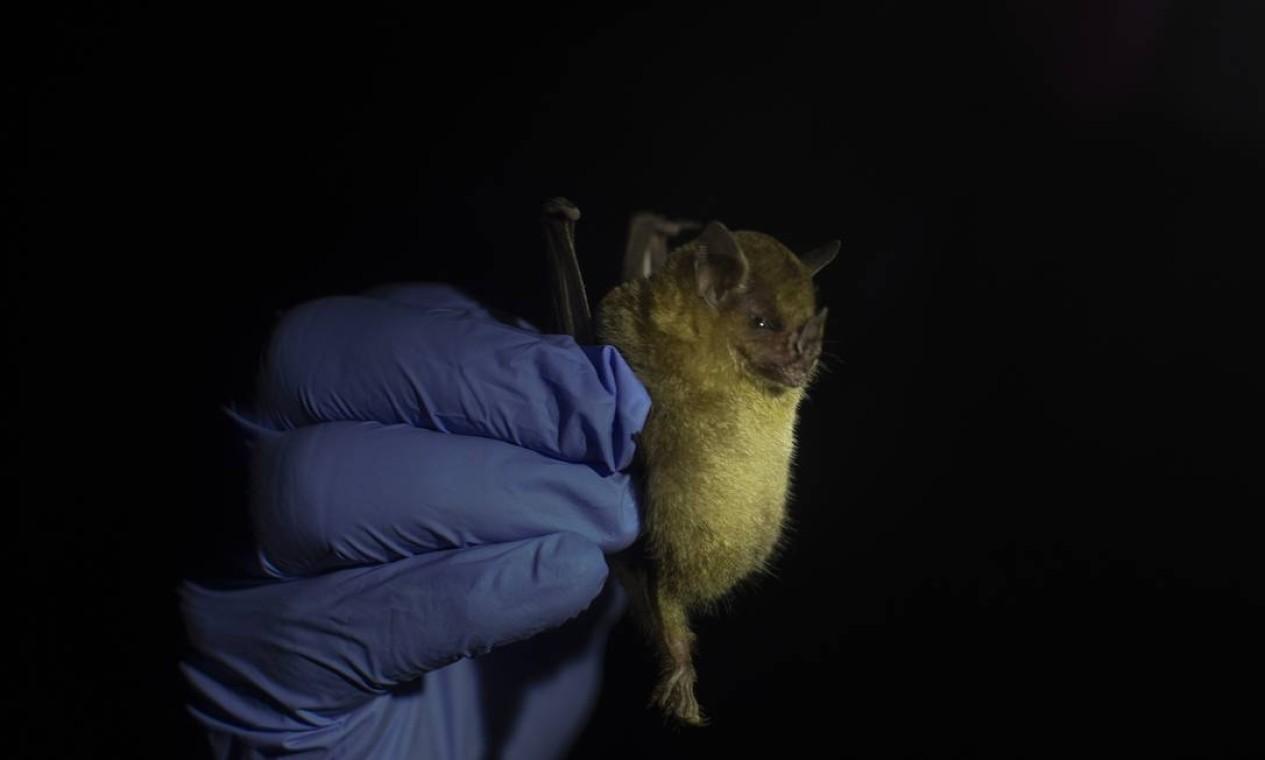 Morcegos também estão associados a outros vírus, como o ebola Foto: Márcia Foletto / Agência O Globo