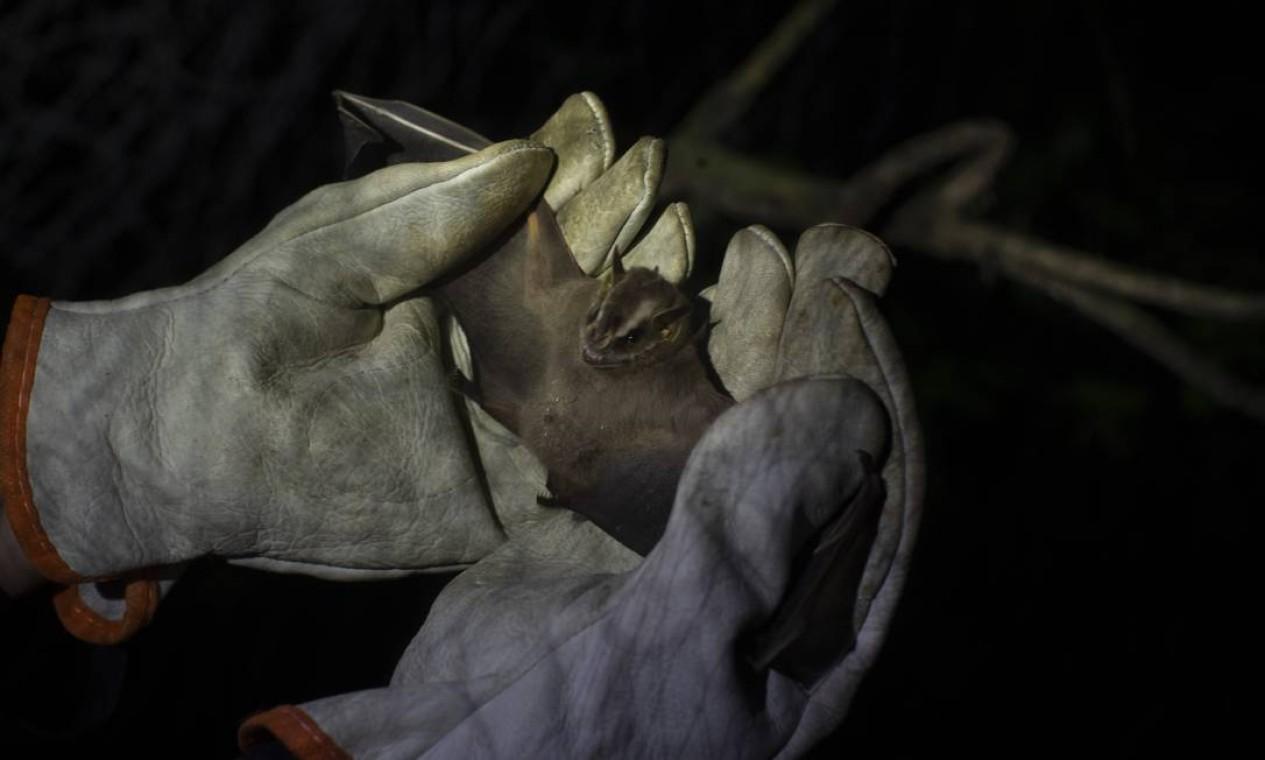Mais de 200 tipos de coronavírus já foram descobertos em morcegos no mundo todo. Após a coleta de material, os mamíferos são cadastrados e soltos novamente Foto: Márcia Foletto / Agência O Globo
