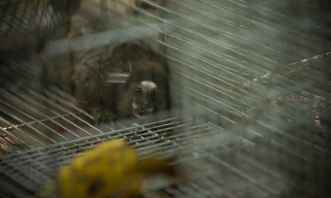Macaco sagui capturado para ter amostra coletada para estudo da Fiocruz Foto: Márcia Foletto / Agência O Globo